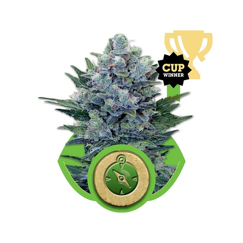 NORTHERN LIGHT AUTOMATIC 1 SEMI FEMM ROYAL QUEEN SEEDS
